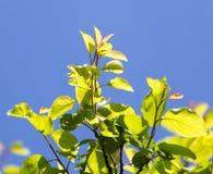 Schöne Niederlassung eines Baums mit grünen Blättern Stockbilder