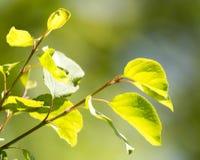 Schöne Niederlassung eines Baums mit grünen Blättern Lizenzfreie Stockbilder