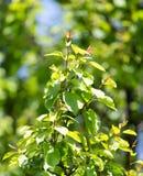 Schöne Niederlassung eines Baums mit grünen Blättern Stockfotos