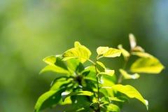Schöne Niederlassung eines Baums mit grünen Blättern Stockbild