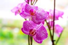 Schöne Niederlassungen mit Rosa und magentarote Motte Phalaenopsis-Orchideenblumen auf hellgrünem Hintergrund stockfoto