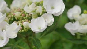 Schöne Oakleaf-Hortensie, die in der Regenzeit blüht Stockfotos