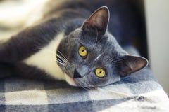 Schöne ohrige graue Katze mit gelben Augenlügen lizenzfreie stockbilder