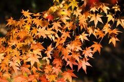 Schöne orange Ahorne lizenzfreie stockfotografie
