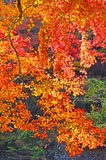 Schöne orange Ahorne stockbilder