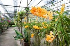 Schöne orange Ascocenda-Orchideen lizenzfreies stockfoto
