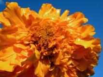 Schöne orange Blüte im Garten, Litauen Stockbild