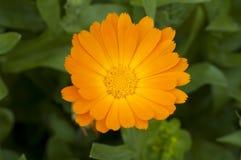 Schöne orange Blume Stockbild