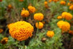 Schöne orange Blume auf unscharfen Blumen und grünem Buschhintergrund lizenzfreie stockfotografie