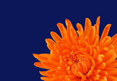 Schöne orange Chrysantheme Stockfoto