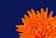 Schöne orange Chrysantheme stockfoto