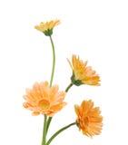 Schöne orange Chrysanthemeblume Lizenzfreie Stockfotos