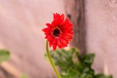 Schöne orange gerber Blume lizenzfreie stockfotos