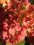 Schöne orange Hortensieblüte im Herbst Lizenzfreies Stockbild