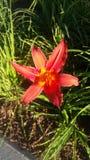 Schöne orange Lilie Stockfotografie