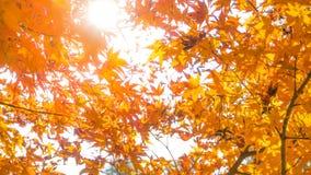 Schöne orange mable Blätter in der Herbstsaison mit Sonnenlicht-BAC Lizenzfreies Stockbild