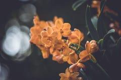Schöne orange Orchideenblumen auf einer Niederlassung in einem Garten von Orchideen schließen oben Lizenzfreie Stockbilder