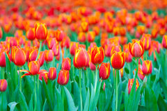 Schöne orange Tulpe lizenzfreies stockbild