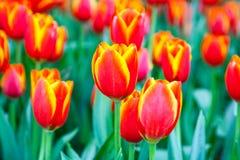 Schöne orange Tulpen im Garten lizenzfreie stockfotos