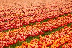 Schöne orange Tulpenfeldreihen während des sonnigen Tages Lizenzfreie Stockfotos