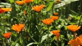 Schöne orange Wildflowers stock footage