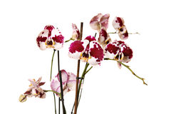 Schöne Orchidee Lizenzfreies Stockbild