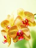 Schöne Orchidee Lizenzfreie Stockbilder