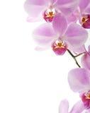 Schöne Orchidee auf dem Weiß Lizenzfreie Stockbilder