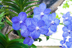 Schöne Orchidee blüht blaue hybride Vanda Stockfoto