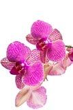 Schöne Orchidee des Fotos auf weißem Hintergrund Stockfoto