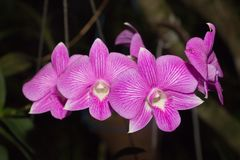 Schöne Orchidee, Srilankan Orchideen-Bauernhof, lizenzfreie stockfotos