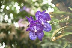 schöne Orchidee Vanda auf Hintergrundgarten Bewirken Sie seitlichen 50mm Nikkor Stockbild