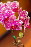 Schöne Orchideeblumen Lizenzfreie Stockbilder