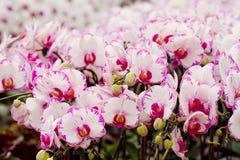Schöne Orchideeblumen Lizenzfreie Stockfotografie