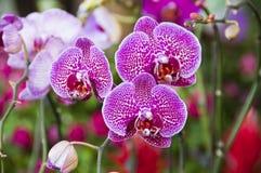 Schöne Orchideen. lizenzfreie stockfotos