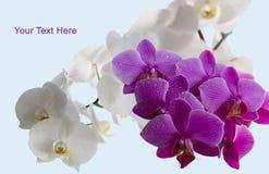 Schöne Orchideen Lizenzfreie Stockbilder