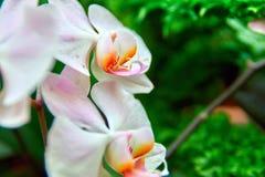Schöne Orchideen-Blumen auf grünem Hintergrund Helles rosa-weißes mit orange Blumenblattblumen Für Plakat Abdeckung lizenzfreie stockfotografie
