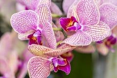 Schöne Orchideen mit einer Kombination von rosa, weißen und gelben Farben stockbilder