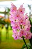 Schöne Orchideenblume und Grünblatthintergrund im Garde Lizenzfreie Stockbilder