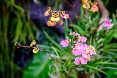 Schöne Orchideenblume und Grünblatthintergrund im Garde Stockfotos