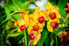 Schöne Orchideenblume und Grünblatthintergrund im Garde Stockfotografie