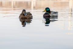 Schöne Paare der Ente und des Enterichs segeln auf den Fluss Lizenzfreies Stockbild