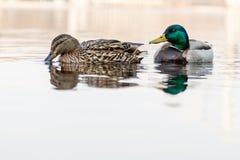 Schöne Paare der Ente und des Enterichs segeln auf den Fluss Lizenzfreies Stockfoto