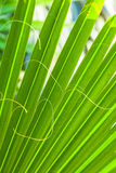 Schöne Palmblattbeschaffenheit Stockfotografie