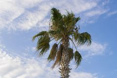 Schöne Palme gegen einen blauen bewölkten Himmel stockfotos