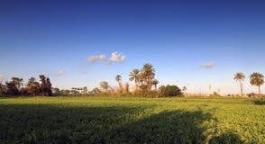 Schöne Palmen auf Feld - Ägypten Stockbilder