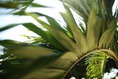 Schöne Palmenniederlassung Lizenzfreie Stockfotos
