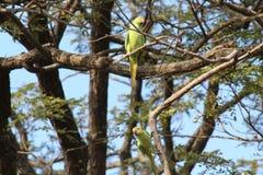 Schöne Papageien im Holz Stockfotos