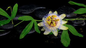 Schöne Passionsblumengrünniederlassung mit Blume auf Zensteinen Stockfoto