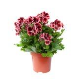 Schöne Pelargonie in einem Blumentopf, lokalisiert Lizenzfreie Stockfotografie
